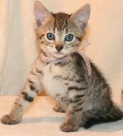 Bengal Pixie Bob Kittens Available Now!!!