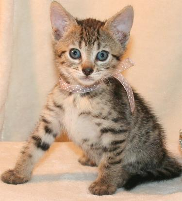 Bengal Pixie Bob Kittens Available Now!!! - Oklahoma City ...