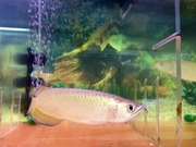 Super Red, Red Asian Arowana, Jardini Arowana, Golden Arowana